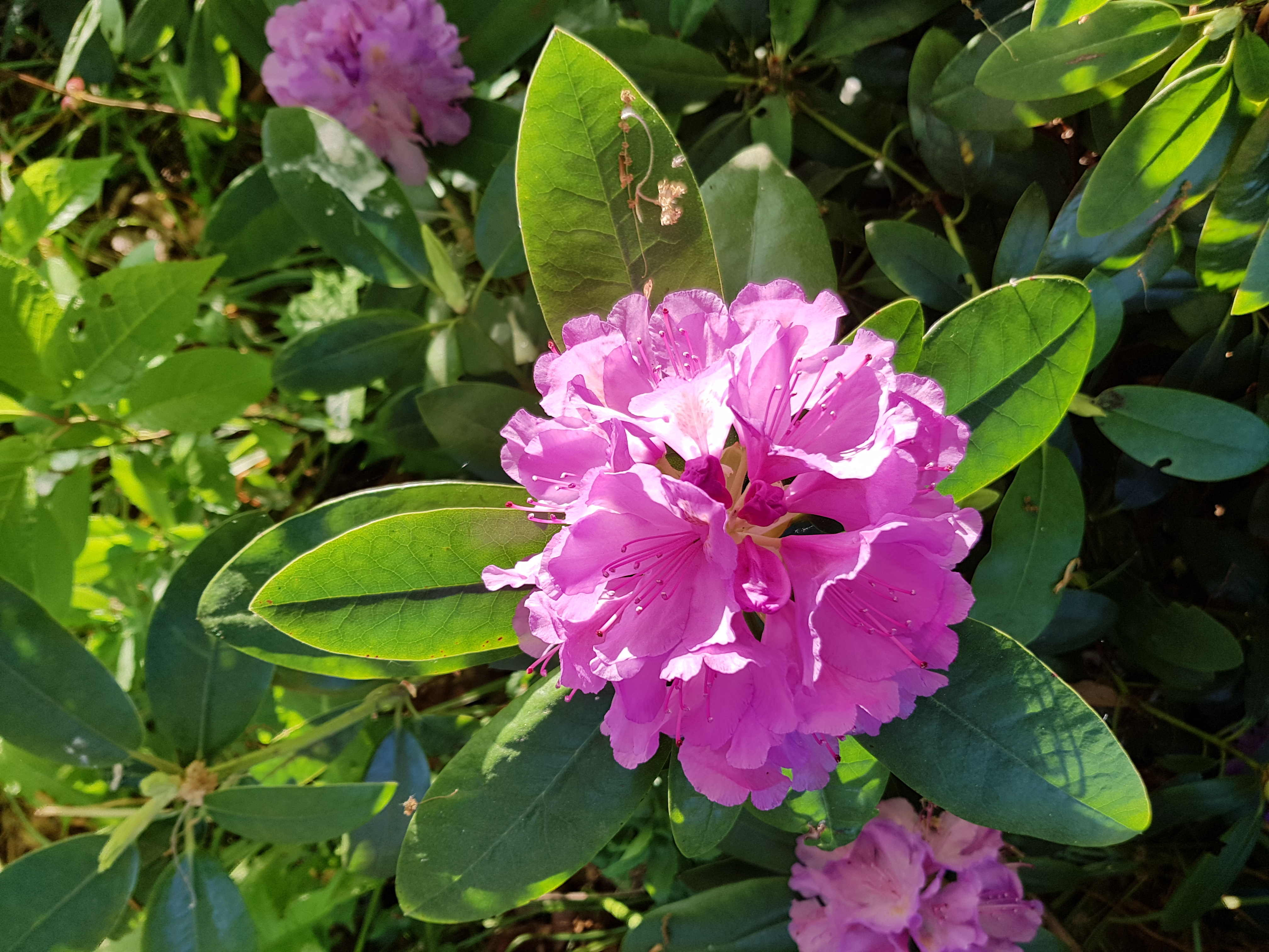 Bloem Rhododendron